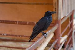 Black crow perched on a steel fence royalty free stock image