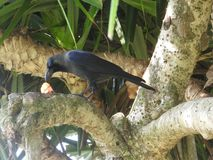 Black crow promptly eats the prey on the grass, a branch, Sri Lanka royalty free stock image