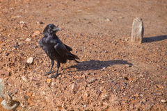 Black Crow or Raven Royalty Free Stock Image