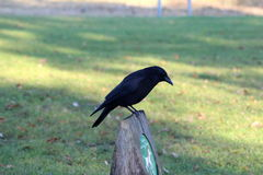 Black crow. Crow resting and forging for food on a grassfield Royalty Free Stock Photography