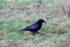 Black crow. Crow resting and forging for food on a grassfield Stock Image