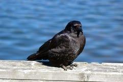 Black crow by sea Royalty Free Stock Photos