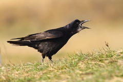 Black crow singing Royalty Free Stock Photo