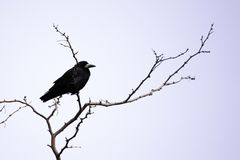 Black crow sits on the branches of acacia royalty free stock photo