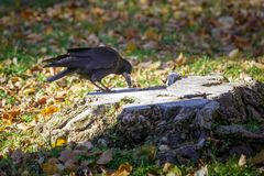 Black crow sits on an old tree stump and tries to find meal Royalty Free Stock Photos