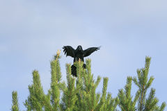 Black crow sits on top of a green spruce, and the wing on blue s Stock Photo
