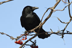 Black crow is sitting on a branch Royalty Free Stock Photography