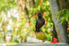 Black crow sitting on the coconuts. On the dust bin at the tropical park Stock Photography