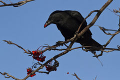 Black crow sitting on mountain ash and eat its fruits Royalty Free Stock Images