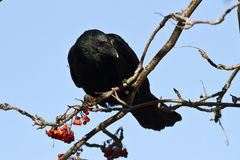 Black crow sitting on mountain ash sunny autumn Royalty Free Stock Image