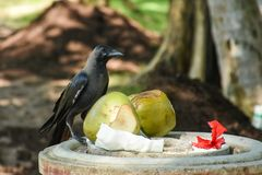 Black crow sitting near the coconuts. On the dust bin in the park Stock Photography