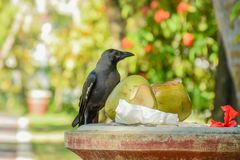 Black crow sitting near the coconuts at the tropical park. Black crow sitting near the coconuts on the dust bin at the tropical park Royalty Free Stock Photography