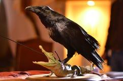 Black crow Stock Image