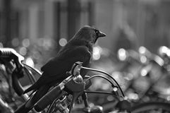 A black crow sitting on a part of a bike. A crow on top of the handlebar of a bicycle stock photo