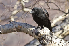 Black crow sitting on a stone birch Royalty Free Stock Photos