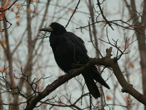 Black crow sitting on a tree branch Royalty Free Stock Photos
