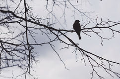 Black crow sitting on a tree branch, silhouette Royalty Free Stock Photography