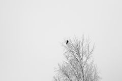 Black crow sitting on a tree branch at winter.  Royalty Free Stock Photography