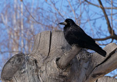 Black crow. Sitting on tree stump Stock Photo