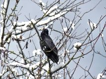 Black crow in snow cover tree stock photo