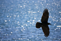 Black crow soaring over water. Black crow soaring over the ocean, Sydney, Australia Royalty Free Stock Image