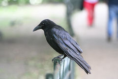 Black Crow. A black crow standing on a fence, with blurred background Royalty Free Stock Images