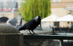 Black crow. Standing on fence, Prague Stock Photo
