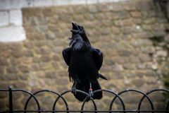 Black crow standing on a fence using its grapples while croaking with old bricks background.  royalty free stock image