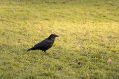 Black Crow. Standing on Grass Field Royalty Free Stock Photography