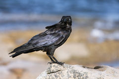 Black crow standing on rock Royalty Free Stock Image