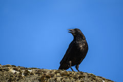 Black Crow Royalty Free Stock Image