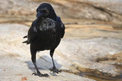 Black Crow standing on rocky terrain. Black Crow standing next to rockpool Stock Photography
