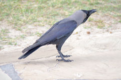 Black Crow on Stone Stock Photos