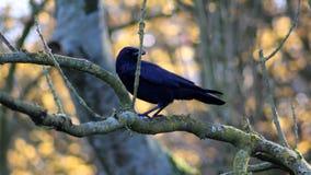 Black crow in tree Stock Photo