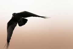Black crow turning in flight. Black crow in flight with wings spread Stock Photos