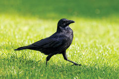 Black crow walking stock photos