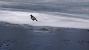 The crow walks the ice. The black crow walks along the ice in the pond stock video
