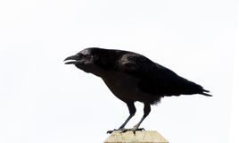 Black Crow. With white background royalty free stock images
