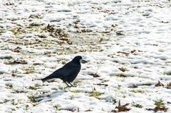 Black crow on white snow before sping. Black crow on white snow, to melt away,  to thaw, before sping Royalty Free Stock Photography