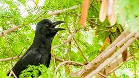 Black crow. Wildlife birds photography Stock Photo
