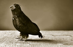 Black crow on a wooden surface, in sepia toning Royalty Free Stock Images