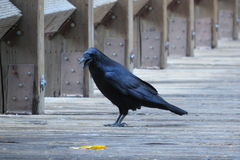 Black crow in Yosemite California. In a cool afternoon Stock Photos
