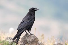 Black Crow - Zwarte Kraai - Corvus Corone - Stock Photo
