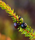 Black crowberry berries Royalty Free Stock Photo