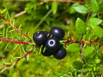 Black crowberry, Empetrum nigrum, berries on branch with needle-like leaves, close-up, selective focus, shallow DOF.  Royalty Free Stock Images