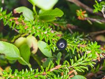 Black crowberry, Empetrum nigrum, berry on branch with needle-like leaves, close-up, selective focus, shallow DOF.  Royalty Free Stock Image