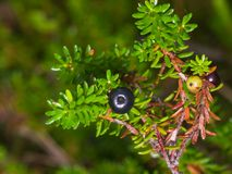 Black crowberry, Empetrum nigrum, berry on branch with needle-like leaves, close-up, selective focus, shallow DOF.  Stock Image