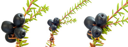 Black crowberry. (Empetrum nigrum) isolated on white background stock photography