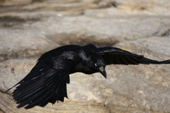 Black Crowe flying over rocks Royalty Free Stock Image