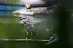 Black crown night heron Royalty Free Stock Images